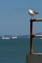 Bird resting with sea in the background san francisco bay Stock Photos