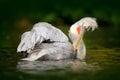 Bird In River. White Pelican, ...