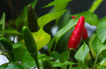 Bird s eye chili fruits capsicum frutescens pepper at several maturing stages aka annuum Royalty Free Stock Image
