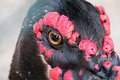 Bird s head with black feathers and red excrescence brown eye Stock Photos