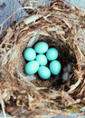 Bird s nest abandoned beautiful eggs in the Royalty Free Stock Images