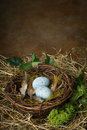 Bird's nest with blue eggs Royalty Free Stock Photo