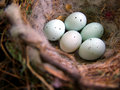 Bird's Nest with Eggs Stock Photos