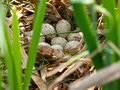Bird's nest of moorhen Royalty Free Stock Images