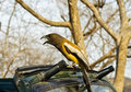 Bird on safari jeep a pie sitting our during jungle in ranthambhore national park in june Stock Photo