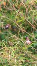 Bird (Scaly-breasted Munia) in a nature wild Royalty Free Stock Photo