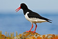 Bird in the sea coast. Oystercatcher, Heamatopus ostralegus, water bird in the wave, with open red bill,Norway. Bird sitting on th Royalty Free Stock Photo