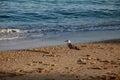 Bird a Seagull on the beach Royalty Free Stock Photo
