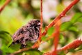 Bird seedeater perched on branch in aviary a passerine a tree an butterfly world south florida the seedeaters are a form taxon of Royalty Free Stock Images