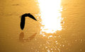 Bird silhouette as flies over shining glistening waters sunset Royalty Free Stock Images