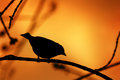 Bird silhouette on a branch lonely in sunset colors Stock Photo