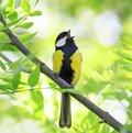 Beautiful bird singing in spring forest with fresh green tree in Royalty Free Stock Photo