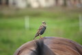 Bird sitting on horse back riding the brown Royalty Free Stock Images