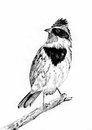 Bird sketch by black pen on paper Royalty Free Stock Photography