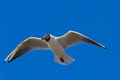 A bird in the sky gull which flies Royalty Free Stock Images