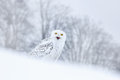 Bird snowy owl sitting on the snow in the habitat, winter scene with snowflakes in wind. Royalty Free Stock Photo