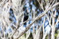 Bird song a tui a native of new zealand in full Royalty Free Stock Images