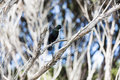 Bird song a tui a native of new zealand in full Royalty Free Stock Photos