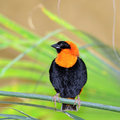 Bird southern red bishop Stock Photos