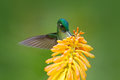Bird sucking nectar. Hummingbird Long-tailed Sylph eating nectar from beautiful yellow strelicia flower in Ecuador. Flower with hu Royalty Free Stock Photo