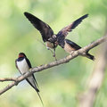 Bird swallow and two chicks sitting on a branch on the shore in summer Royalty Free Stock Photography