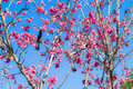 Bird on thai sakura flower little black tree Stock Images