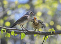 Bird thrush feeding her little Chicks long  worm on a tree in sp Royalty Free Stock Photo
