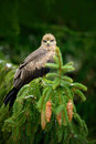 Bird with tree cone. Black Kite, Milvus migrans, brown bird of prey sitting larch tree branch. animal in the nature habitat. Black Royalty Free Stock Photo