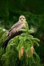 Bird with tree cone. Black Kite, Milvus migrans, brown bird of prey sitting larch tree branch. animal in the nature habitat. Black Royalty Free Stock Photo