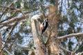 Bird treecreeper Royalty Free Stock Photo