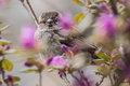 Bird on twig grey in purple spring flowers Royalty Free Stock Images