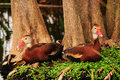 Bird: Two Whistling Ducks Royalty Free Stock Photos