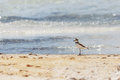 Bird walking at the beach collared plover charadrius collaris Stock Images