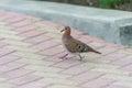 Bird is walking on the sidewalk in bridgetown barbados Royalty Free Stock Image