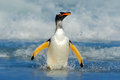 Bird in the water. Gentoo penguin jumps out of the blue water while swimming through the ocean in Falkland Island, bird in the nat Royalty Free Stock Photo