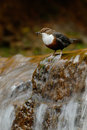 Bird with waterfall. White-throated Dipper, Cinclus cinclus, water diver, brown bird with white throat in river, waterfall in the Royalty Free Stock Photo