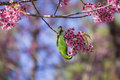 Bird on wild himalayan cherry tree head downward green chiangmai thailand Royalty Free Stock Images