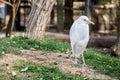 Bird Wildlife - Cattle Egret Royalty Free Stock Photo