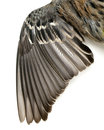 Picture : Bird Wing Feathers  with bird`s
