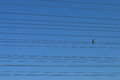 Bird on wires sitting the Royalty Free Stock Photo