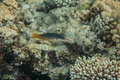 Bird wrasse - gomphosus caeruleus Royalty Free Stock Photo