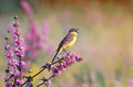 Bird the yellow Wagtail sings on a meadow in summer day Royalty Free Stock Photo