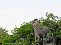 Bird, young great blue herons in wetlands Royalty Free Stock Photo