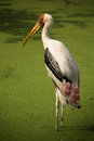 A bird in the zoo one painted stork thailand Stock Photo