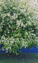 Birdcherry tree blooming Royalty Free Stock Photo