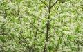 Birdcherry tree blossom Royalty Free Stock Photo