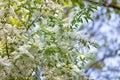 Birdcherry tree blossom at spring Royalty Free Stock Photo