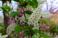 Birdcherry tree cherry blooms profusely white flowers gathered in the inflorescence and has a very strong odor after flowering Stock Images