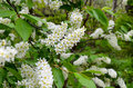 Birdcherry tree cherry blooms profusely white flowers gathered in the inflorescence and has a very strong odor after flowering Royalty Free Stock Images