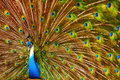 Birds animals peacock with expanded feathers thailand asia closeup portrait of bright colorful male travel to tourism Royalty Free Stock Photos